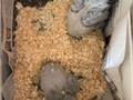 2135143551Hello well come to home ParrotsAfrican Grey Babies and eggs they are ready to find a