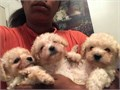 Maltese puppiesI have some adorable Maltese Puppies that are ready to go home with you today Thes