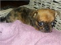 Beautiful litter of pug is pug full KC and pedigree tiny tiny girl Dad is marle full pedigree tiny t