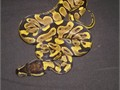 2017 yellowbelly females 2 to choice from eating mice or rat pinks60 each 6000 626-228-4474