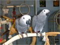 Gigi female African grey parrot for sale She is 1 year 8 months old now Comes with travelling cage