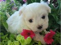 maltese puppies up for adoption for more info and pics please call or send text to 2133575110 thanks