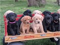 We have available males and females Labrador puppies They are up to date on shots and comes with he