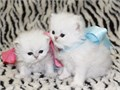 Adorable Persian Kittens Two Females Home raised used to kids dogs and other cats Healthy and v
