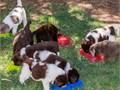 newfoundland dog for sale new yorknewfoundland dog breeders in new york statenewfoundland dog br