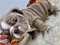 The English Bulldog is a is a perfect puppy The English Bulldog is spirited lively and playful Ge