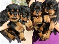 True German Rottweiler Puppies for sale from the number one kennel in USA Sire is a Import male wit