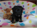 Male Yorki-poo puppy 34 Yorkie 14 Poodle  should go around 7 lbs at full grown CKC reg st shots