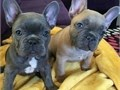 Akc French Bulldog PupsMFs10wks Shots UTD with papersFor instant feedbackTextCall 323 320-7