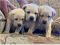 Beautiful yellow AKC Labrador Puppies- Three females available  Born on Mothers Day Mom is fox red