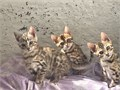 We have available males and females Bengal Kittens They are up to date on shots and comes with heal