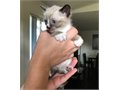 Little Siamese boy Available 8 weeks old litter box trained Super sweet and a joy to have a r
