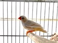 I have two males one is a fawn zebra finch white  brown and a normal grey split fawn The birds are