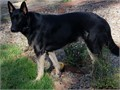 German Shepherd Gorgeous black 15 month old male House trained crate trained rides well will sta