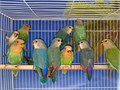 Beautiful Handfed Baby Mutation Peach Faced Lovebirds for 200 and up Prices varies on mutationcol