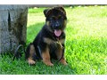 I have Beautiful German Shepherd puppies for sale I have both male and female The puppies have the