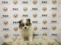 Breed  PomeranianNickname  HolidayDOB September 27 2016Sex FemaleApprox Size at Matur