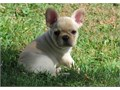 Akc registered french puppies strong healthy quick learners adorable and a perfect present fo