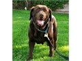 Chocolate lab adult female to non-breeding companion home English import lines