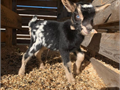 Miniature goats available for new homes kids are registered healthy and pedigree proven Contact