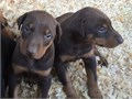 Doberman Pinscher Puppies - 1st Vaccines 1st Dewormings Done Tails Docked Sold as Pets No Papers