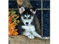 Beautiful Siberian Husky puppies3 months oldready for new homes family raised perfect with kidsd