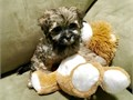 MALTIPOO PUPPY FOR SALE ADORABLE GREAT PERSONALITY HEALTH GUARANTEE  WILL BE  6 POUNDS FULL GROW