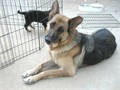 German Shepherd pups AKC two boys and one girlavailable Their mother is our pretty female Gina Le