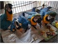 Tamed DNA Tested Blue and Gold Macaw Parrots Available text me at 213 290-x1x9