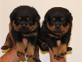 BIG NEWS This is your one and only chance to own one of the extraordinary puppiesWe Are now