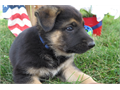 German Shepherds Purebred no papers 1 male 3 females Great with kids and other animals Purebre