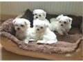 boys and girls maltese puppies ready for adoption to a lovely and caring family check on our website