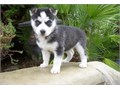 Cute Siberian Husky Pups  Male and Female ready for their new home Text us now for more info and p