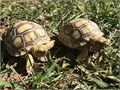 Baby Sulcata Tortoises They are very well started and eating extremely well on dark leafy greens 1