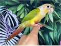 Beautiful Handfed Baby Pineapple Conure for 700 Now Shipping Nationwide USA No Emails Please For