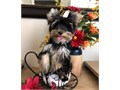 Meet Mercedes shes a gorgeous Teacup Yorkie charting at 4 lbs as adult  Shes the total pkg lov
