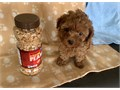 T CUP MALTIPOO PUPPY FOR SALE  RED PUPPY FOR SALE 9 WEEKS OLD WILL BE  5 POUNDS FULL GROWN SHOTS