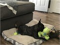 16 month old French Bulldog looking for a forever home Gumbo is a 23lb Brindle French Bulldog wit
