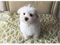 Male Maltese Puppy Available today Connor is a fun loving little pup who loves people and interact