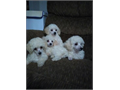CKC Toy Poodle puppies 4 females vaccinated and dewormed They are 12 weeks old they are very lovely