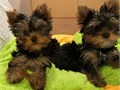 Registered yorkie puppies  male and female excellent color all pups are up-to date on all shots and