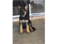 German Shepherd puppies for sale 3 males left and going fast Not AKC registered but full breed