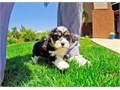 Buck is a Tri-Color male CavalierBichon mix He is always excited to see people in San Diego This