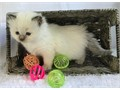 Capable Indoors Ragdolls The come with kitten care guide and shot records Text us for more details
