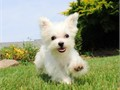 TINY GORGEOUS Maltese Female Puppy named MADISON  Estimated adult weight 4 lbs 100 Hypoaller