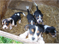 Our primary interest is in Beaglesalthough we enjoy all breeds Our breeding program is based on w