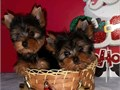 Yorkie puppies available now They are very sweet and kept any home always entertaining There will