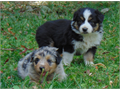 Australian Shepherd pups 7wks Black Tri and Blue Merle Female  first shots and wormed playful l