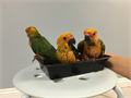 handfed and tame sun conure babies available 626-758-0227 shipping to only us domestic only buyer