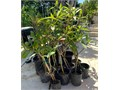 Gorgeous 5 gallon 5 feet tall multi trunk multi branch Rainbow Plumeria 6015 gallon 6 feet tall 1